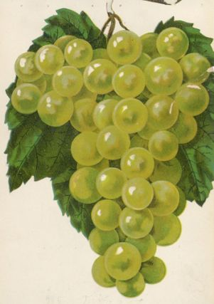 Diamond Grape. American School