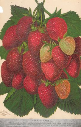 Parker Earle Strawberries. American School
