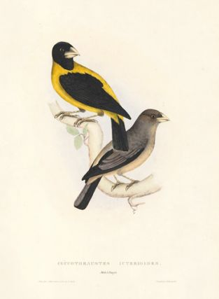 Coccothraustes Icterioides. A Century of Birds hitherto Unfigured from the Himalaya Mountains. John Gould.
