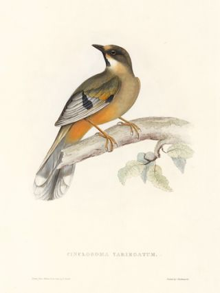 Cinclosoma Variegatum. A Century of Birds hitherto Unfigured from the Himalaya Mountains. John Gould