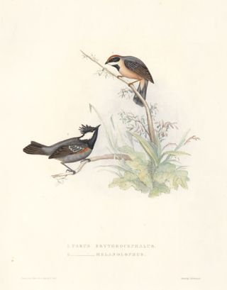 1. Parus Erythrocephalus. 2. Parus Melanolophus. A Century of Birds hitherto Unfigured from the...