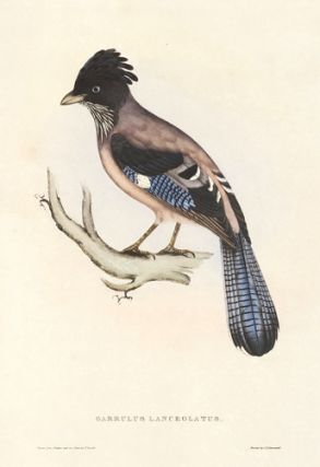 Garrulus Lanceolatus. A Century of Birds hitherto Unfigured from the Himalaya Mountains. John Gould