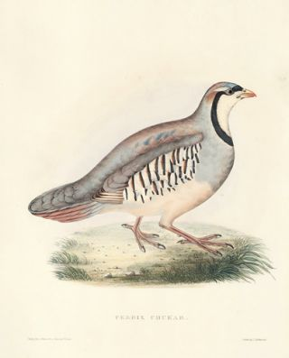 Perdix Chukar. A Century of Birds hitherto Unfigured from the Himalaya Mountains. John Gould