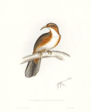 Pomatorhinus Erythrogenys. A Century of Birds hitherto Unfigured from the Himalaya Mountains....