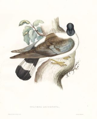 Columba Leuconota. A Century of Birds hitherto Unfigured from the Himalaya Mountains. John Gould