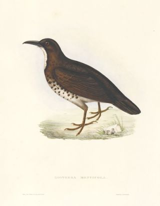 Zoothera Monticola. A Century of Birds hitherto Unfigured from the Himalaya Mountains. John Gould