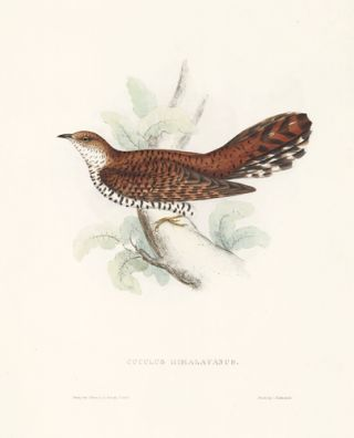 Cuculus Himalayanus. A Century of Birds hitherto Unfigured from the Himalaya Mountains. John Gould