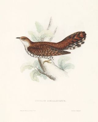 Cuculus Himalayanus. A Century of Birds hitherto Unfigured from the Himalaya Mountains.