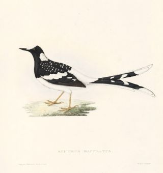 Enicurus Maculatus. A Century of Birds hitherto Unfigured from the Himalaya Mountains. John Gould