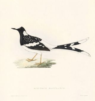 Enicurus Maculatus. A Century of Birds hitherto Unfigured from the Himalaya Mountains.