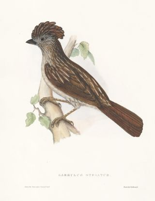 Garrulus Striatus. A Century of Birds hitherto Unfigured from the Himalaya Mountains. John Gould
