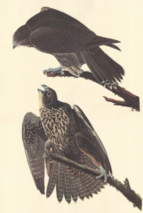 Labrador Falcon. John James Audubon