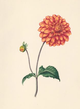 Dahlia. Flora's Gems. James Andrews