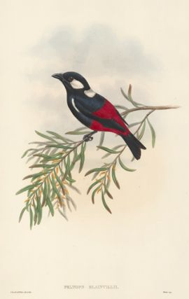 Peltops Blainvilii. The Birds of New Guinea and the Adjacent Papuan Islands. John Gould, Richard...