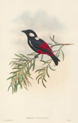 Peltops Blainvilii. The Birds of New Guinea and the Adjacent Papuan Islands...