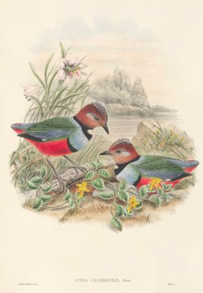 Pitta Celebensis. The Birds of New Guinea and the Adjacent Papuan Islands...