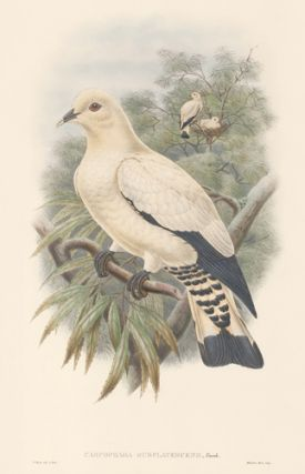 Carpophaga Subflavescens. The Birds of New Guinea and the Adjacent Papuan Islands. John Gould,...