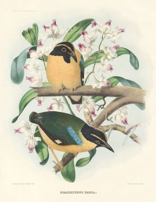 Brachyurus Irena. A Monograph of the Pittidae, or, Family of Ant-Thrushes. Daniel Giraud Elliot.