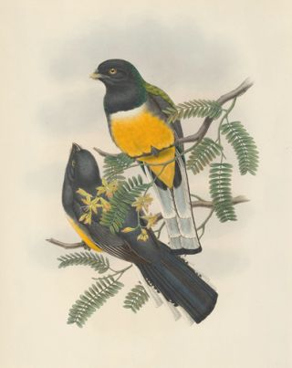 Trogon Citreslus. A Monograph of the Trogonidae or Family of Trogons. John Gould