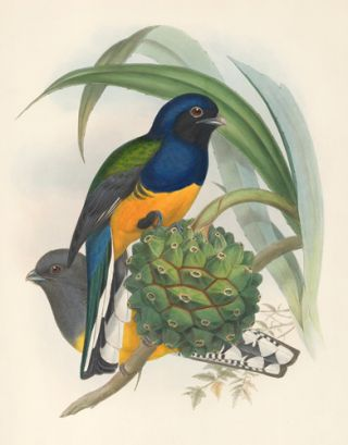 Trogon Viridis. A Monograph of the Trogonidae or Family of Trogons. John Gould