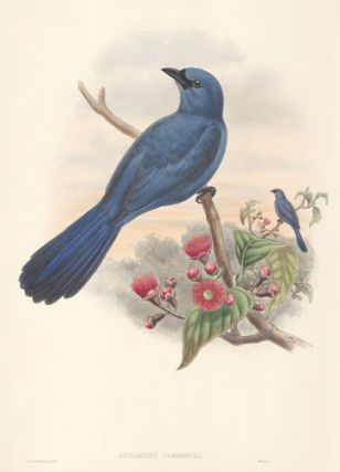 Artamides Temmincki. The Birds of New Guinea and the Adjacent Papuan Islands. John Gould, Richard...