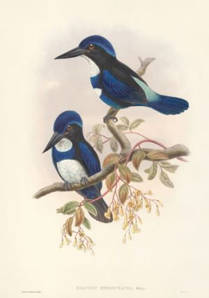 Halcyon Nigrocyanea. The Birds of New Guinea and the Adjacent Papuan Islands. John Gould, Richard...