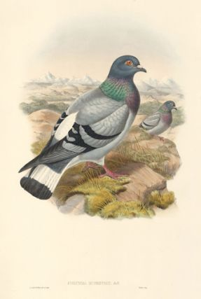 Columba Rupestris. The Birds of Asia. John Gould