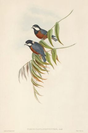 Parus Castaneoventris. The Birds of Asia. John Gould