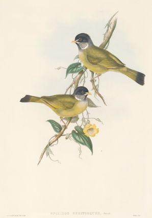 Spizixos Semitorques. The Birds of Asia. John Gould