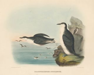 Brachyrhampus Hypoleucus. The New and Heretofore Unfigured Species of the Birds of North America