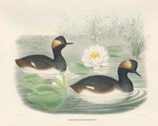Podiceps Californicus. The New and Heretofore Unfigured Species of the Birds of North America....