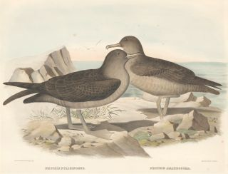 Nectris Fuliginosus and Nectris Amaurosoma. The New and Heretofore Unfigured Species of the Birds of North America