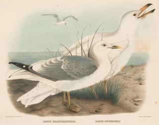 Larus Brachyrhynchus and Larus Hutchinsii. The New and Heretofore Unfigured Species of the Birds of North America