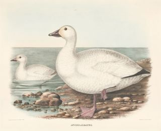 Anser Albatus. The New and Heretofore Unfigured Species of the Birds of North America. Daniel...