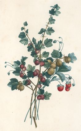 Gooseberries. Collection des Fleurs et des Fruits, peints d'apres nature. Jean Prevost
