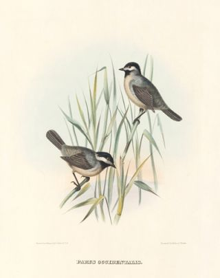 Parus Occidentalis. The New and Heretofore Unfigured Species of the Birds of North America