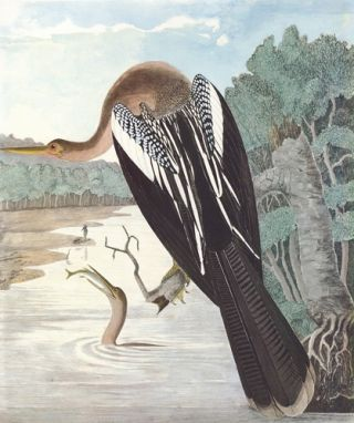 Anhinga. Birds of the Pacific Slope. Andrew Jackson Grayson