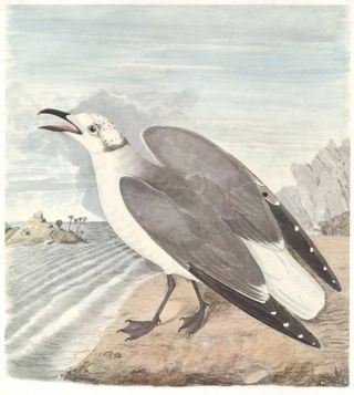 Laughing Gull. Birds of the Pacific Slope. Andrew Jackson Grayson