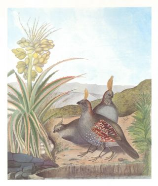 Elegant Quail. Birds of the Pacific Slope. Andrew Jackson Grayson