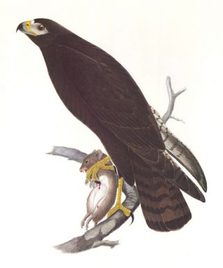 Zone-Tailed Hawk. Birds of the Pacific Slope.