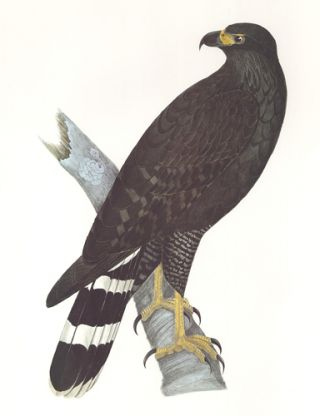 Great Black-Hawk. Birds of the Pacific Slope. Andrew Jackson Grayson