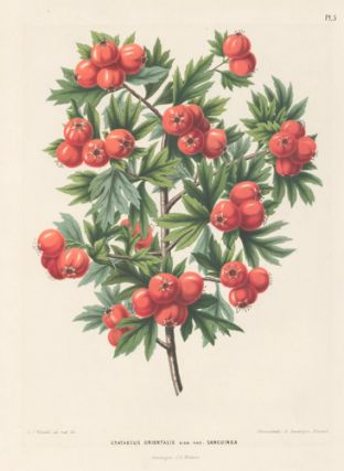 Crataegus Orientalis. Flora. G. after A. J. Wendel Severeyns