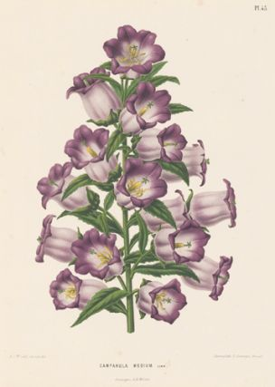 Campanula Medium. Flora. G. after A. J. Wendel Severeyns