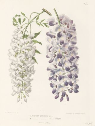Wisteria Chinensis. Flora. G. after A. J. Wendel Severeyns
