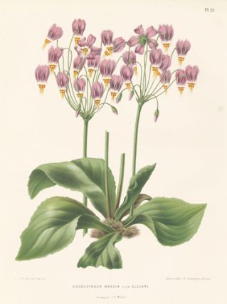 Dodecatheon Meadia. Flora. G. after A. J. Wendel Severeyns