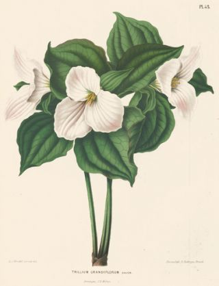 Trillium Grandiflorum. Flora. G. after A. J. Wendel Severeyns