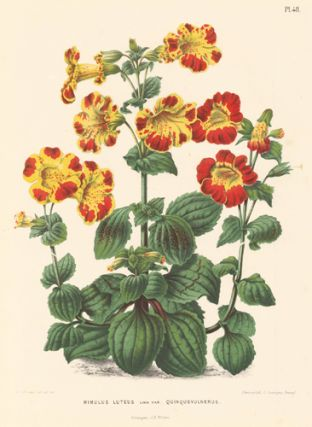 Mimulus Luteus. Flora. G. after A. J. Wendel Severeyns