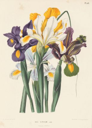 Iris Xiphium. Flora. G. after A. J. Wendel Severeyns