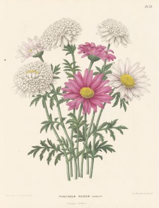 Pyrethrum Roseum. Flora. G. after A. J. Wendel Severeyns