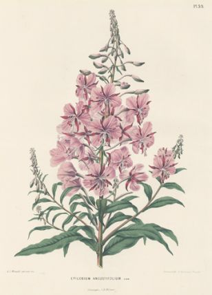 Epilobium Angustifolium. Flora. G. after A. J. Wendel Severeyns